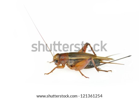 Field Cricket (Gryllus)