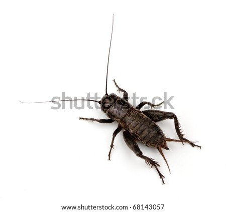 Field Cricket (Gryllus) isolated
