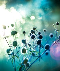 field dry herbs, homeopathy, herbal treatment, blue thorny flowers on blue bokeh background, light effects, sun glare, abstract image,  light effects, sun glare, abstract image