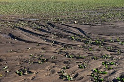 field erosion damage on soil and rapeseed plants on a food farm agriculture