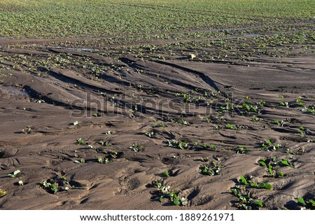 field erosion damage on soil and rapeseed plants on a food farm agriculture Photo stock ©