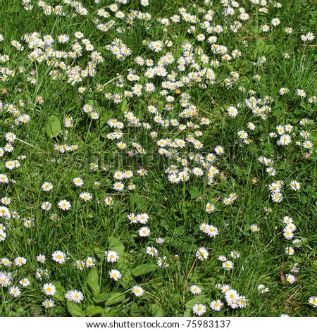 Field full of white daisy flower, like nice background, square composition.