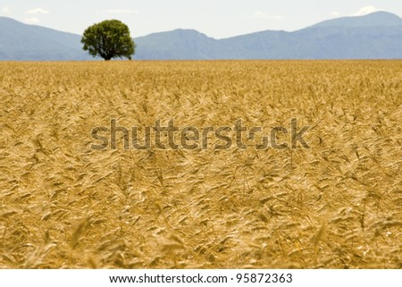 Field, golden field. Provence. France.
