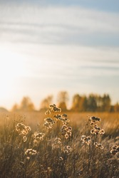 Field landscape in soft rays of sun. Wild flowers are backlit by sunset or sunrise. Warm season or relaxation in nature concept.