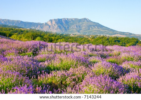 field lavender in mountain, blue sky, crimea