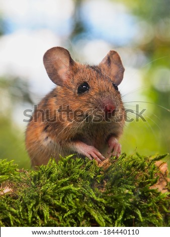 Field Mouse (Apodemus sylvaticus) on the Forest Floor in it's Natural Habitat