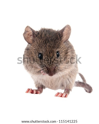 Field Mouse.Isolated on white background.