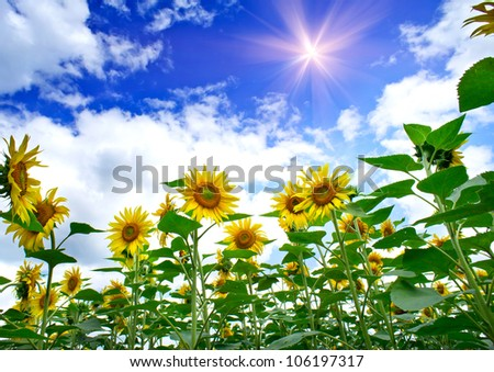 Field of amazing sunflowers and blue sky.