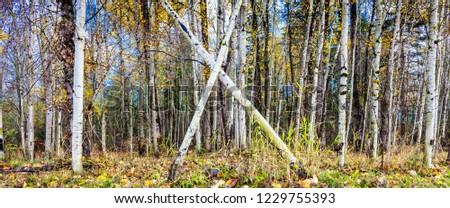 Field of Aspens Trees in Autumn #1229755393