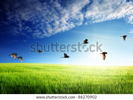 field of barley and flying birds