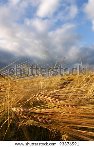 Field of barley with a cloudy sky
