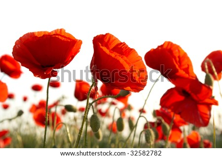 Field of beautiful red poppies isolated on white