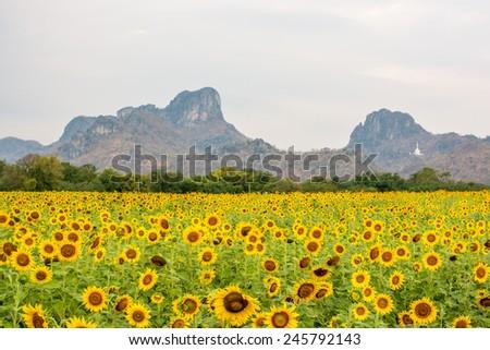field of blooming beautiful sunflowers #245792143