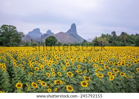 field of blooming beautiful sunflowers #245792155