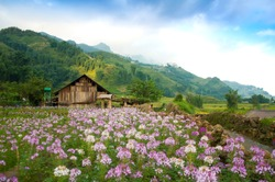 Field of blooming pink and purple flowers and a farm house at the background at Cat Cat Village, where ethnic groups of Black H'Mong live in mountainous areas of Northern Vietnam, Sapa town