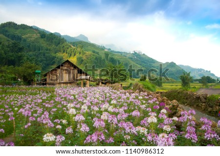 Field of blooming pink and purple flowers and a farm house at the background at Cat Cat Village, where ethnic groups of Black H'Mong live in mountainous areas of Northern Vietnam, Sapa town #1140986312