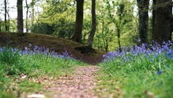 Field of bluebells in a forest with pathway through the centre