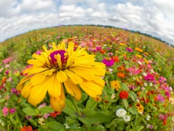 Field of bright colorful wildflowers taken with a fisheye lens creating a rounded horizon