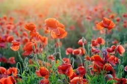 Field of bright red corn poppy flowers in summer