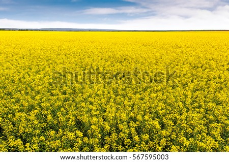 Field of bright yellow rapeseed in spring. Rapeseed (Brassica napus) oil seed rape #567595003