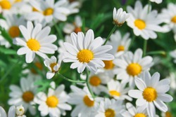 Field of camomiles at sunny day at nature. Camomile daisy flowers, field flowers, chamomile flowers, spring day