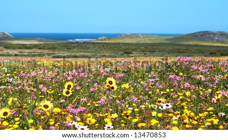 Field of colorful wild flowers with blue sky and ocean in the background in West Coast National Park, South Africa