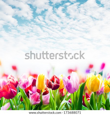 Field of colourful spring tulips growing in a field under a beautiful blue sky with scattered fluffy white clouds in square format