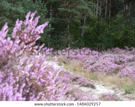 Field of common heather (Calluna) with sharp background and blurred foreground. #1486029257