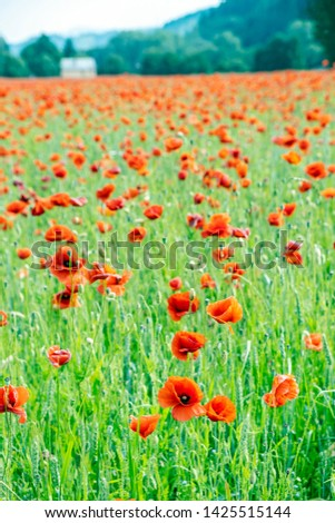 Field of common poppy - papaver rhoeas. Seasonal natural scene. Beauty in nature. Vibrant colors. #1425515144