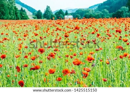Field of common poppy - papaver rhoeas. Seasonal natural scene. Beauty in nature. Vibrant colors. #1425515150