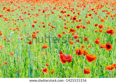 Field of common poppy - papaver rhoeas. Seasonal natural scene. Beauty in nature. Vibrant colors. #1425515156