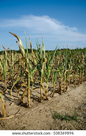 Field of corn damaged during drought in midwest USA.