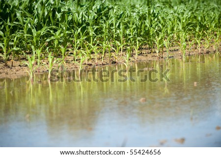 Field of corn flooded by heavy rains and suffering crop damage on a farm in the midwest United States.
