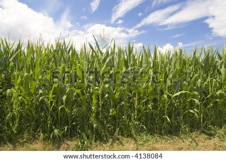 Field of corn on the blue sky