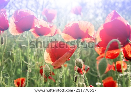 Field of Corn or Red Poppy Flowers Papaver rhoeas in Spring, common names corn poppy, corn rose, field poppy, Flanders poppy, red poppy
