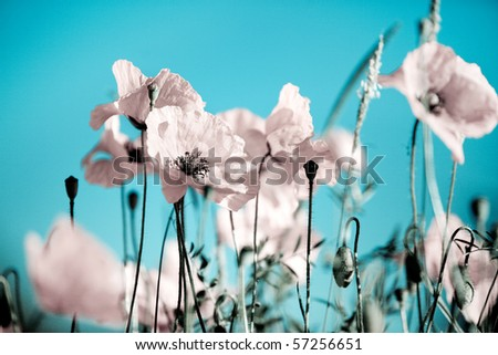 Field of Corn Poppy Flowers Papaver rhoeas in Spring