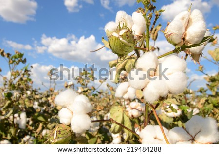 Field of Cotton Ready for Harvesting