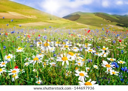 Stock Photo Field of daisies and other wild flowers