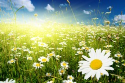 field of daisies and perfect sky