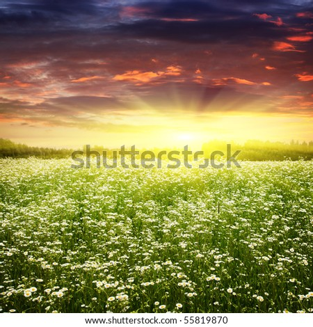 Field of daisies at sunset.