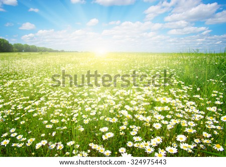 Field of daisies,blue sky and sun.