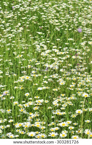 Field of daisies. Daisy background. Green and white background. Meadow, daisy.