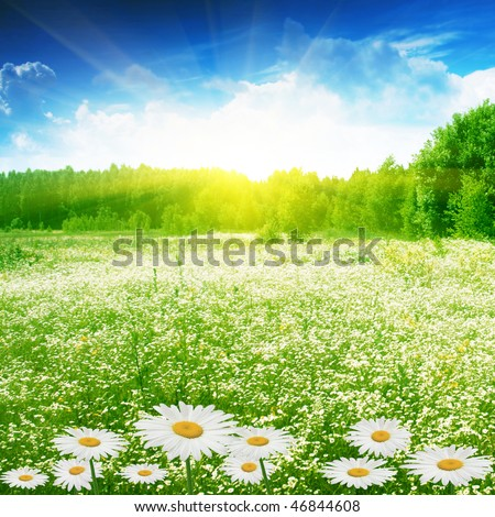 Field of daisies,forest and sun.