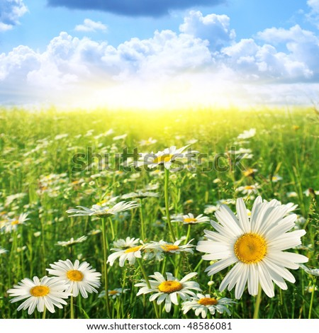 Field of daisies on sunny day.