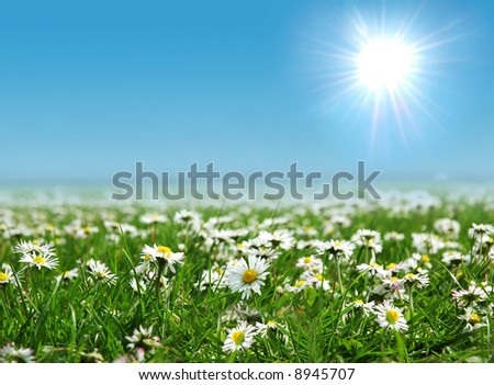 Field of daisies with bright sun on the sky