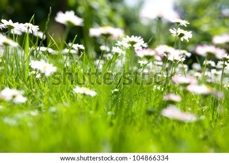 field of daisy flowers on green background