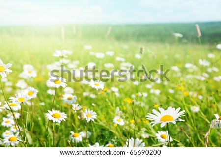 field of daisyes