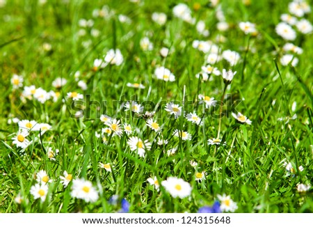 field of daisyes. Green grass and chamomiles in the nature #124315648