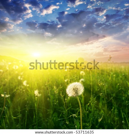 Field of dandelions and sunset.