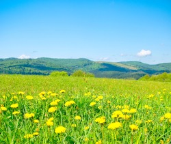 Field of dandelions in the mountains